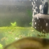 ヤマトヌマエビの繁殖4(孵化から2ヵ月経過)