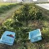 今日も黒枝豆の収穫