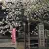 4月27日(金)虎の尾桜・薄墨桜やっと会えた満開の桜