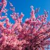 せせらぎ遊歩道の河津桜が咲いたよ!