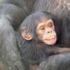 チンパンジーさんとボノボさん、人間に近い。♫♫♫