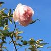 12月6日のバラ
