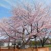 きょうの桜レポート2018【第7回】