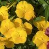 鮮やかな黄色の花いっぱい! パンジー・よく咲くスミレ(パイナップル)
