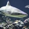 サメの脳を食べる寄生虫