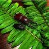 タイでのクワガタ採集)海外で野生のクワガタを初めて採集。ジェンキンスノコギリクワガタ