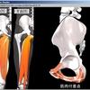 骨盤を活かす脚部の筋肉たち