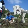首里ワイワイ農園の畑にサツマイモの蔓を植える