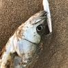 やっとこさ釣れるのも快感!…な伊勢湾サーフ・シーバスのトップウォータープラッキングゲーム