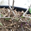 野外越冬レモンバーベナの芽吹。ツボクサと菖蒲も