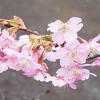 さくら咲く Cherryblossom,Cerasus lannesiana Carrière,