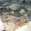 湧き水汲み、夏至、田植えの風景。高橋雅子さんの、コーンパン、焼いてみました!大葉を収穫、シャキっと保存。らっきょう、オープン!