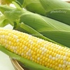 トウモロコシ 写真素材