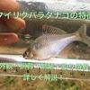 バラタナゴの特徴!外観・飼育・繁殖・釣り情報を詳しく解説!