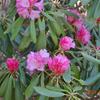 「シラネアオイ」の開花を見るのは初めて!