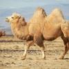 定義 ラクダ(駱駝)とは?