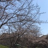 桜は何処へ?