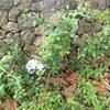 白い花の植物、テッポウユリ、黄色い花の植物