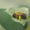 ウツギヒメハナバチ
