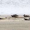 外房の海岸で休むシギたち