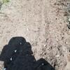 にんにく植付け 落花生収穫