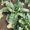 【儲かる農業】ほうれん草の収穫!販売するといくらになると思いますか?