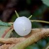 沖縄で見た白い実