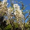 田川邸の花たち