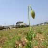 神原町花の会(花美原会)(325)   1本だけ断トツのポピ-とひそかな開花の楽しみ記(1)