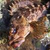 Light Rockfish #34
