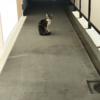 キジシロネコちゃん(20180520_03)
