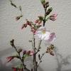 桜の鉢植え 咲くのが楽しみ‼️ part2
