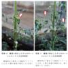 「日本国内の『除草剤ラウンドアップ』の使用基準に関する事実。」