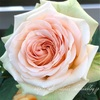 "【庭】Rosa.min "" Athena Kordana """