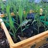 トウモロコシ成育