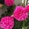 ジェームズ・L.・オースチン  2019春の一番花