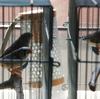 錦華鳥(キンカチョウ)の鳴き声