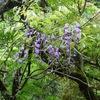 山に咲く藤の花