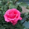 薔薇が咲いた💐🌷🌹