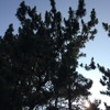 コーヒーの木に新芽現る