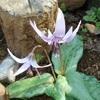 狭山稲荷山公園 『 桜とカタクリ 』