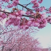 掛川城の城下は春爛漫です♪一面ピンク色ですよ。