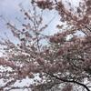 満開の桜と日々と。