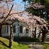 桜が咲いたよ  函館公園で…