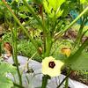 今年もまた待望の、オクラの花が咲いた!・・・種蒔きから収穫までは2か月。
