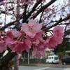 沖縄、桜が満開です!!