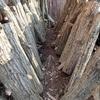 椎茸のホダ木 収穫 Hoda trees of shiitake mushroom