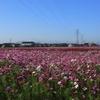 コスモス畑(滋賀県近江八幡市)