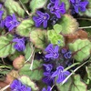 キランソウとアジュガの花