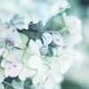 枯れ色 紫陽花。